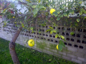 Lemon tree in Socal